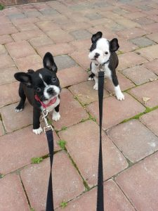 Max and Molly as pups on leash