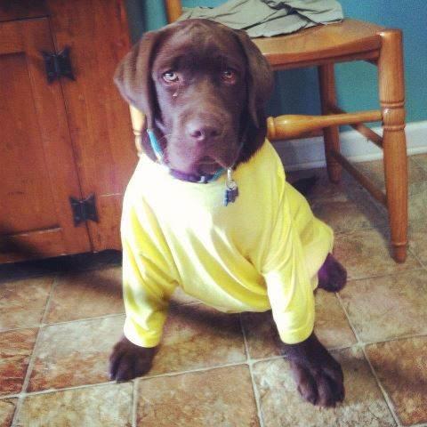 Moose In Yellow Shirt Pet Sitter Dog Walker Cat