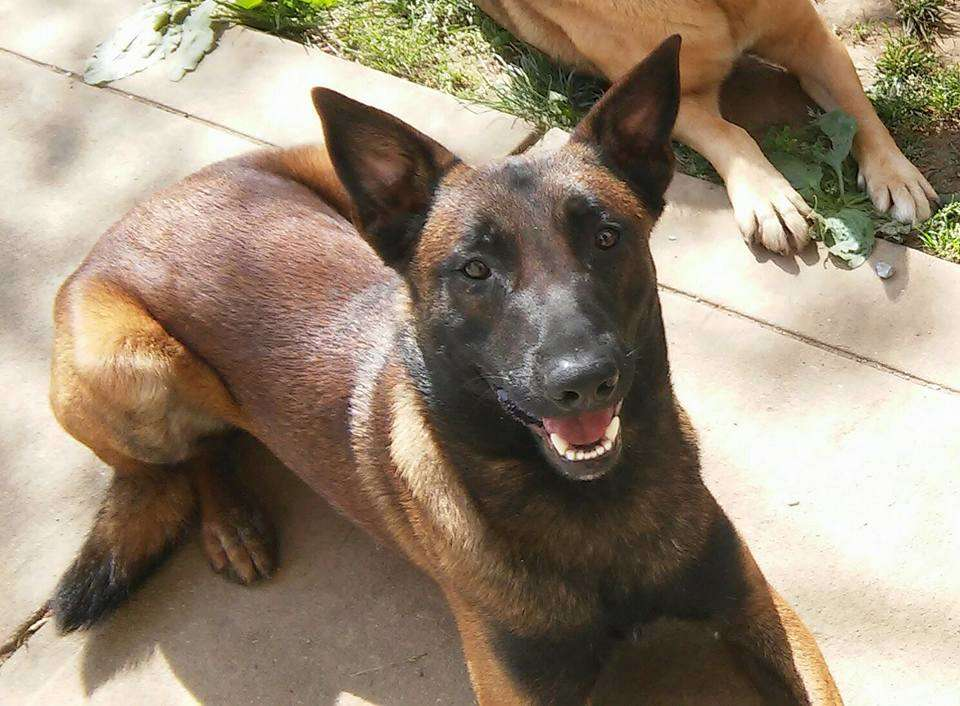 Should You Get A Belgian Malinois As A Family Dog Love And Kisses