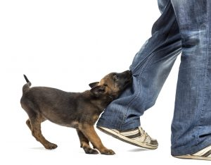 Dog Biting Pants Leg Goldenacresdogs